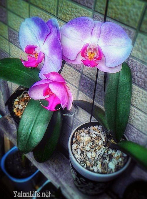 Taipei life Art Orchids Flowers Romanticism Yalan雅岚 黑摄会